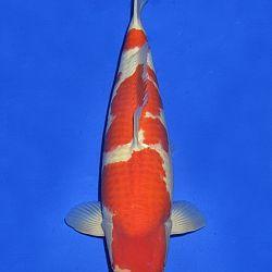 Onze keuze van de veilingvissen: afbeelding 46