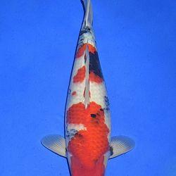 Onze keuze van de veilingvissen: afbeelding 50