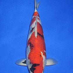 Onze keuze van de veilingvissen: afbeelding 51