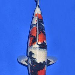 Onze keuze van de veilingvissen: afbeelding 52