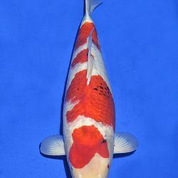 Onze keuze van de veilingvissen: afbeelding 53