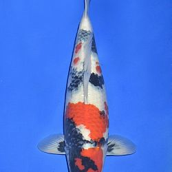 Onze keuze van de veilingvissen: afbeelding 54