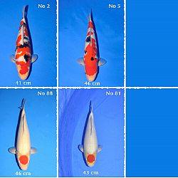 Overzicht van de Momotaro veiling: afbeelding 1