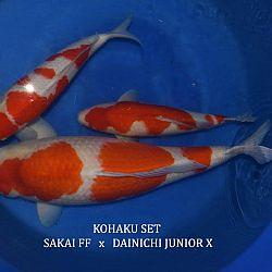 Prijsstelling voor de Taniguchi koi 2016: afbeelding 1