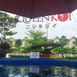 Queenkoi Vietnam : afbeelding 7