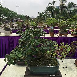 Queenkoi Vietnam : afbeelding 13