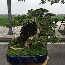 Queenkoi Vietnam : afbeelding 18