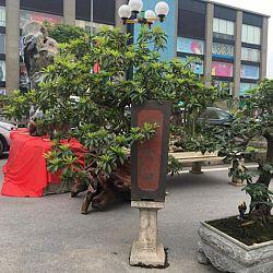 Queenkoi Vietnam : afbeelding 21