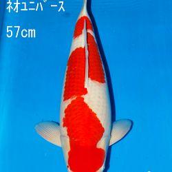 Sakai Auction, 22 maart: afbeelding 13