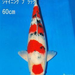 Sakai Auction, 22 maart: afbeelding 41