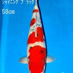 Sakai Auction, 22 maart: afbeelding 42