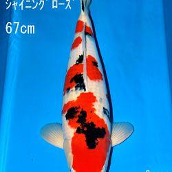 Sakai Auction, 22 maart: afbeelding 43