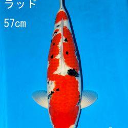Sakai Auction, 22 maart: afbeelding 45