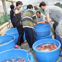 Tategoi selectie door Momotaro koi farm: afbeelding 2