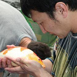 Tategoi selectie door Momotaro koi farm: afbeelding 6