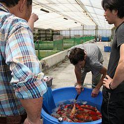 Tategoi selectie door Momotaro koi farm: afbeelding 20