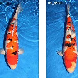 Veiling Momotaro 30 september: afbeelding 43