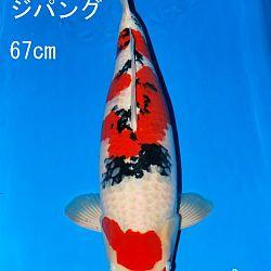Veiling Sakai: afbeelding 4