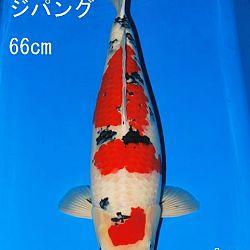 Veiling Sakai: afbeelding 5