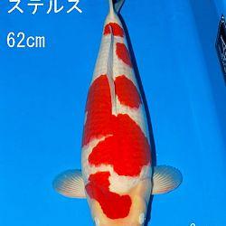Veiling Sakai: afbeelding 6