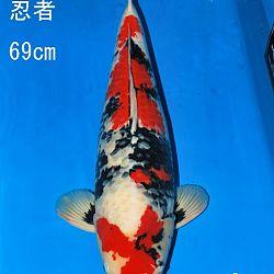 Veiling Sakai: afbeelding 12