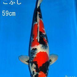 Veiling Sakai: afbeelding 16