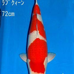 Veiling Sakai: afbeelding 22