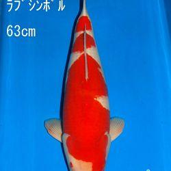 Veiling Sakai: afbeelding 26