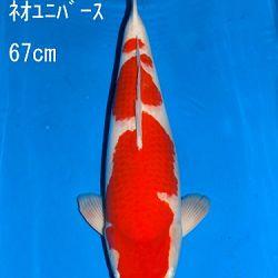 Veiling Sakai: afbeelding 28