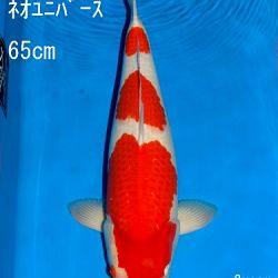 Veiling Sakai: afbeelding 32