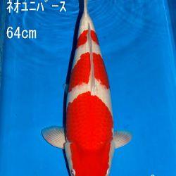 Veiling Sakai: afbeelding 33