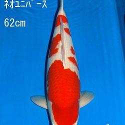 Veiling Sakai: afbeelding 34