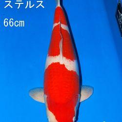 Veiling Sakai: afbeelding 35