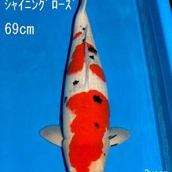 Veiling Sakai: afbeelding 43