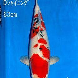 Veiling Sakai: afbeelding 45