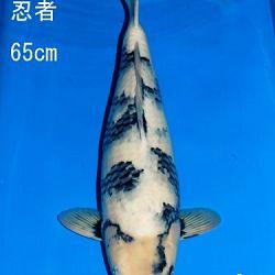 Veiling Sakai: afbeelding 53
