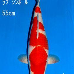 Veiling Sakai: afbeelding 67