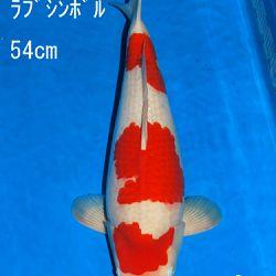 Veiling Sakai: afbeelding 72