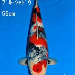Veiling Sakai: afbeelding 73