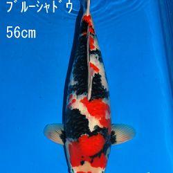 Veiling Sakai: afbeelding 75