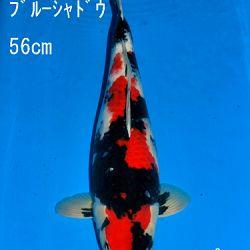 Veiling Sakai: afbeelding 76