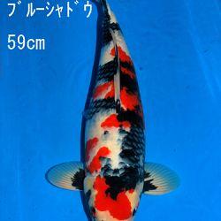Veiling Sakai: afbeelding 78
