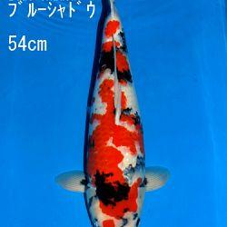 Veiling Sakai: afbeelding 79