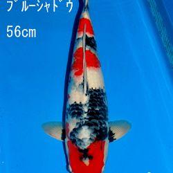 Veiling Sakai: afbeelding 82