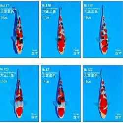 Veiling Sakai SFF op 21 februari: afbeelding 11
