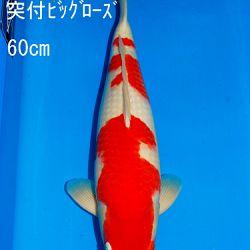 Veiling Sakai SFF op 21 februari: afbeelding 13
