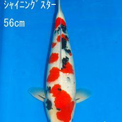 Veiling Sakai SFF op 21 februari: afbeelding 17