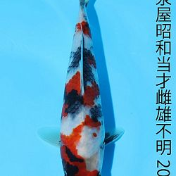 Young Holland Koi Show: afbeelding 1